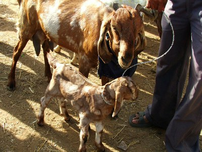 Small Ruminants — South Asia Pro-Poor Livestock Policy Programme
